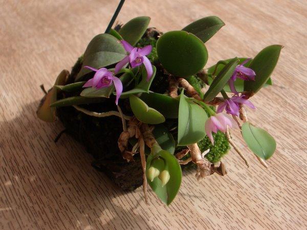meiracyllium trinasutum mini orchidee bl tenfarbe rot. Black Bedroom Furniture Sets. Home Design Ideas